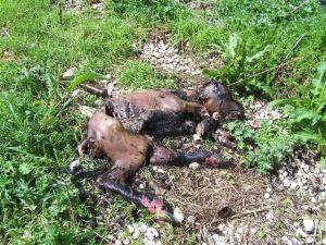 bufale-carcasse-1