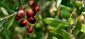 olivo-ramoscello-caiazzo-1